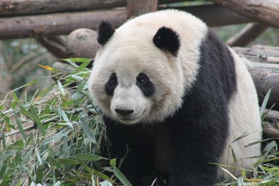 Review: Giant Panda Breeding Base, Chengdu, China